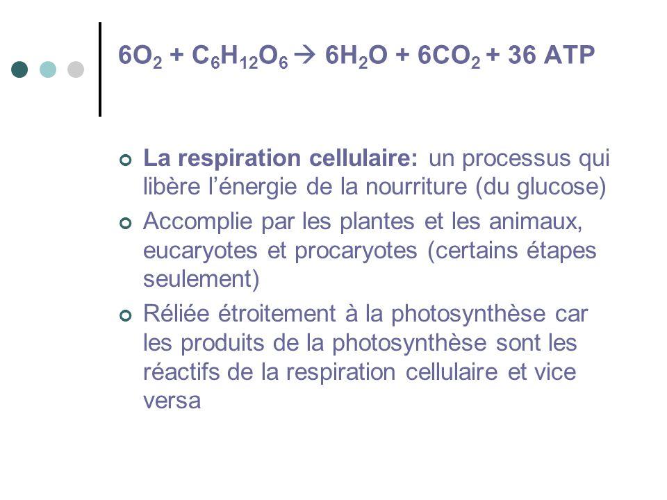 6O 2 + C 6 H 12 O 6 6H 2 O + 6CO 2 + 36 ATP La respiration cellulaire: un processus qui libère lénergie de la nourriture (du glucose) Accomplie par le
