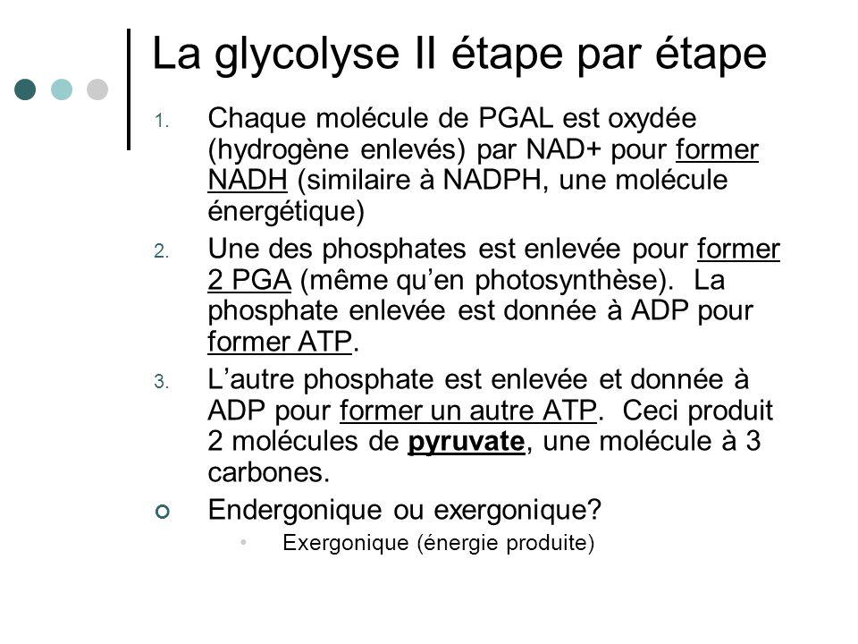 C 6 H 12 O 6 2PGAL 2 pyruvates Glycolyse IGlycolyse II 2 ATP2 ADP4 ADP 4 ATP 2 NAD+ 2 NADH PRODUCTION DATP: 2 + 2 = 4 produit MAIS 2 utilisés = 2 ATP net 2 NADH