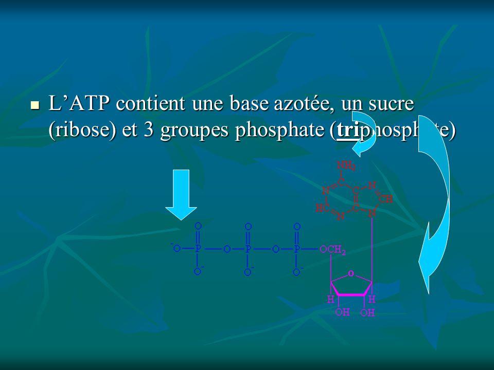 LATP contient une base azotée, un sucre (ribose) et 3 groupes phosphate (triphosphate) LATP contient une base azotée, un sucre (ribose) et 3 groupes phosphate (triphosphate)