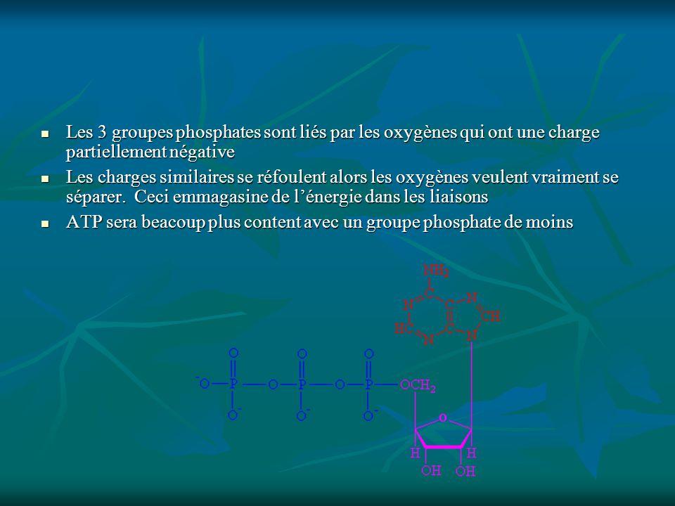 Les 3 groupes phosphates sont liés par les oxygènes qui ont une charge partiellement négative Les 3 groupes phosphates sont liés par les oxygènes qui