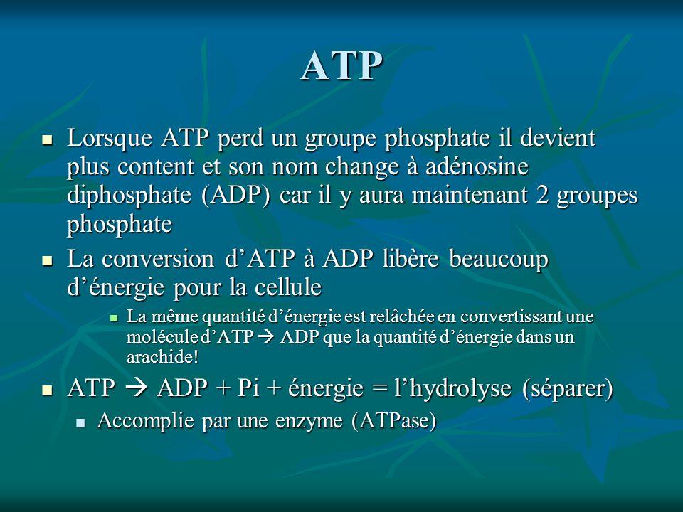 ATP Lorsque ATP perd un groupe phosphate il devient plus content et son nom change à adénosine diphosphate (ADP) car il y aura maintenant 2 groupes phosphate Lorsque ATP perd un groupe phosphate il devient plus content et son nom change à adénosine diphosphate (ADP) car il y aura maintenant 2 groupes phosphate La conversion dATP à ADP libère beaucoup dénergie pour la cellule La conversion dATP à ADP libère beaucoup dénergie pour la cellule La même quantité dénergie est relâchée en convertissant une molécule dATP ADP que la quantité dénergie dans un arachide.