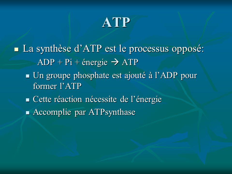 ATP La synthèse dATP est le processus opposé: La synthèse dATP est le processus opposé: ADP + Pi + énergie ATP Un groupe phosphate est ajouté à lADP pour former lATP Un groupe phosphate est ajouté à lADP pour former lATP Cette réaction nécessite de lénergie Cette réaction nécessite de lénergie Accomplie par ATPsynthase Accomplie par ATPsynthase