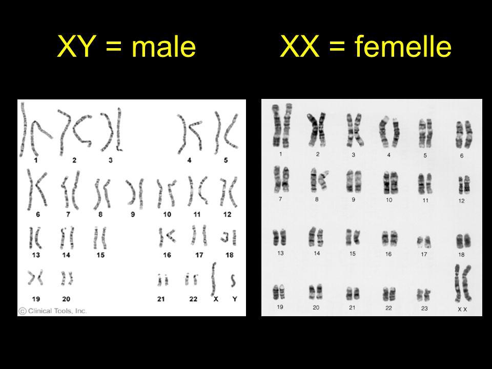 XY = male XX = femelle