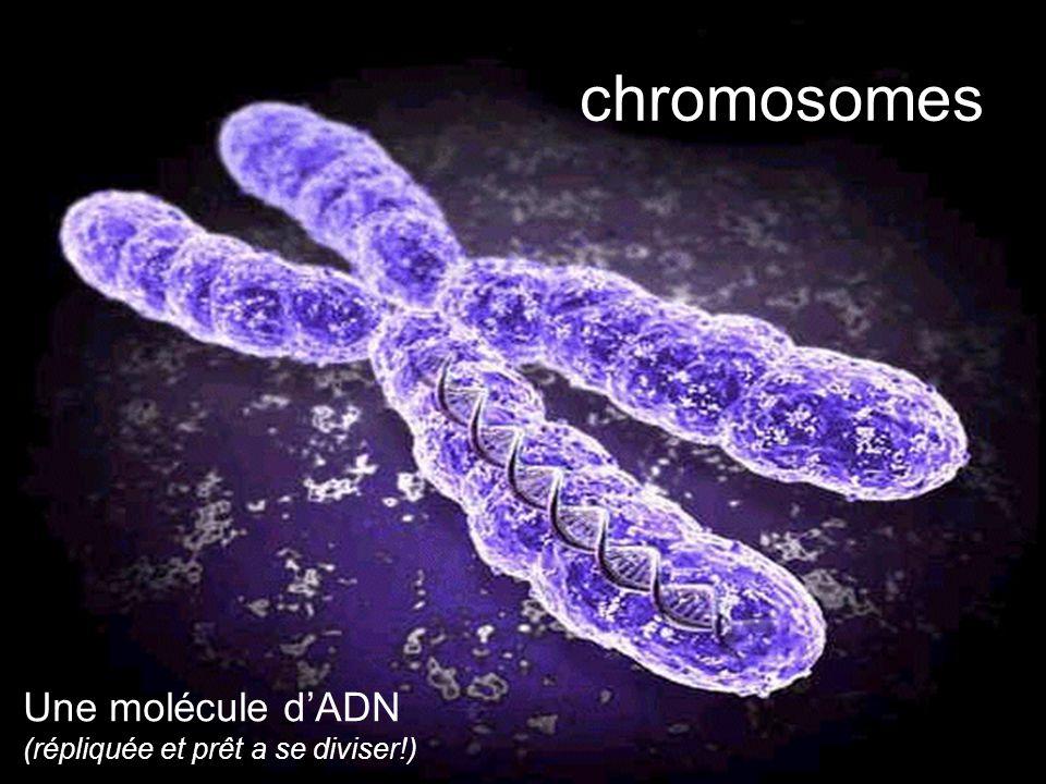 chromosomes Une molécule dADN (répliquée et prêt a se diviser!)