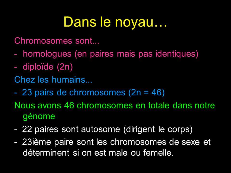 Dans le noyau… Chromosomes sont...