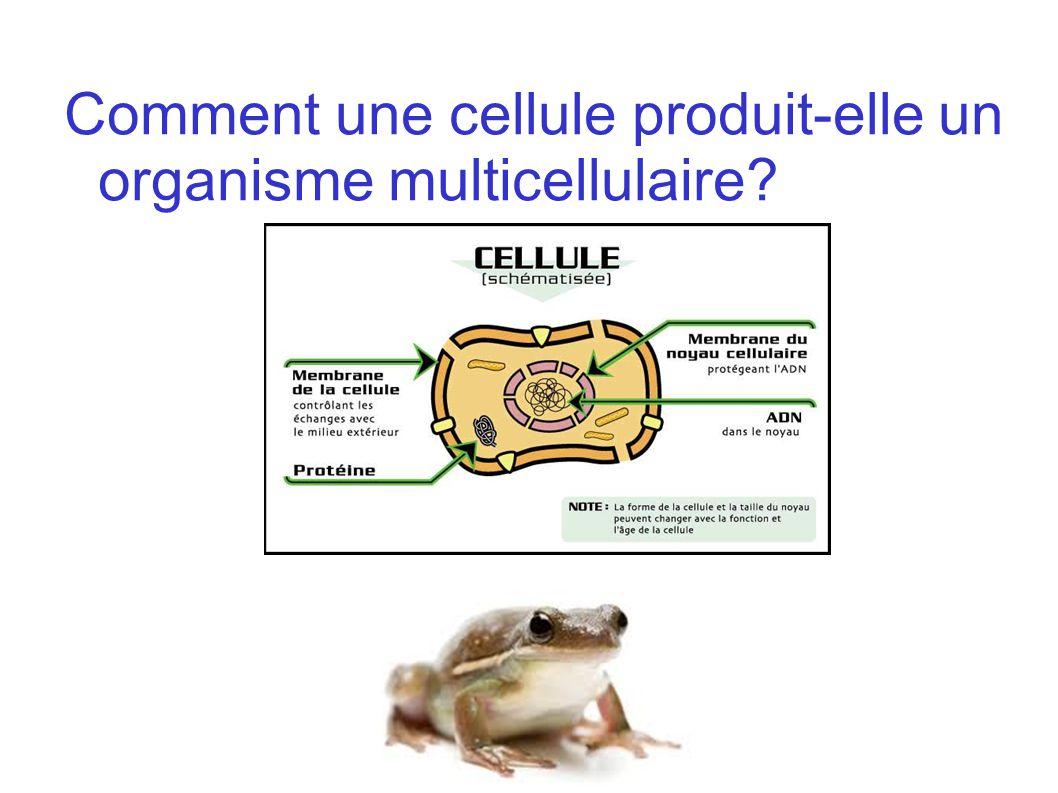 Comment une cellule produit-elle un organisme multicellulaire?