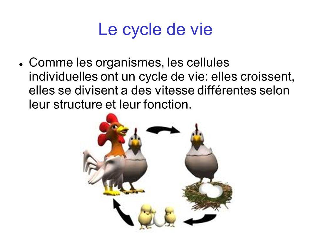 Le cycle de vie Comme les organismes, les cellules individuelles ont un cycle de vie: elles croissent, elles se divisent a des vitesse différentes sel