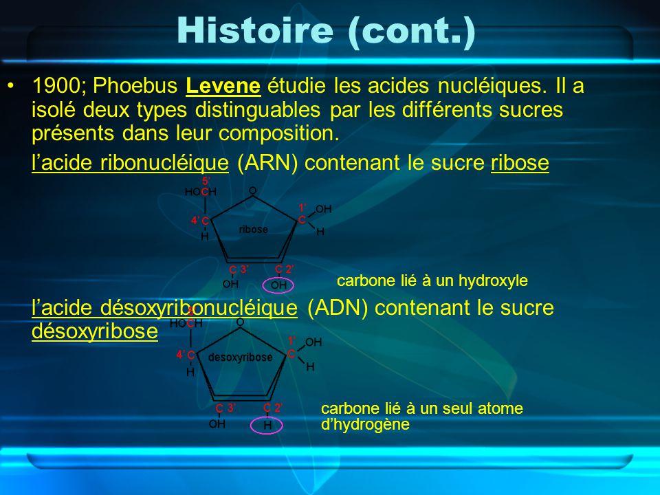 Histoire (cont.) 1900; Phoebus Levene étudie les acides nucléiques. Il a isolé deux types distinguables par les différents sucres présents dans leur c