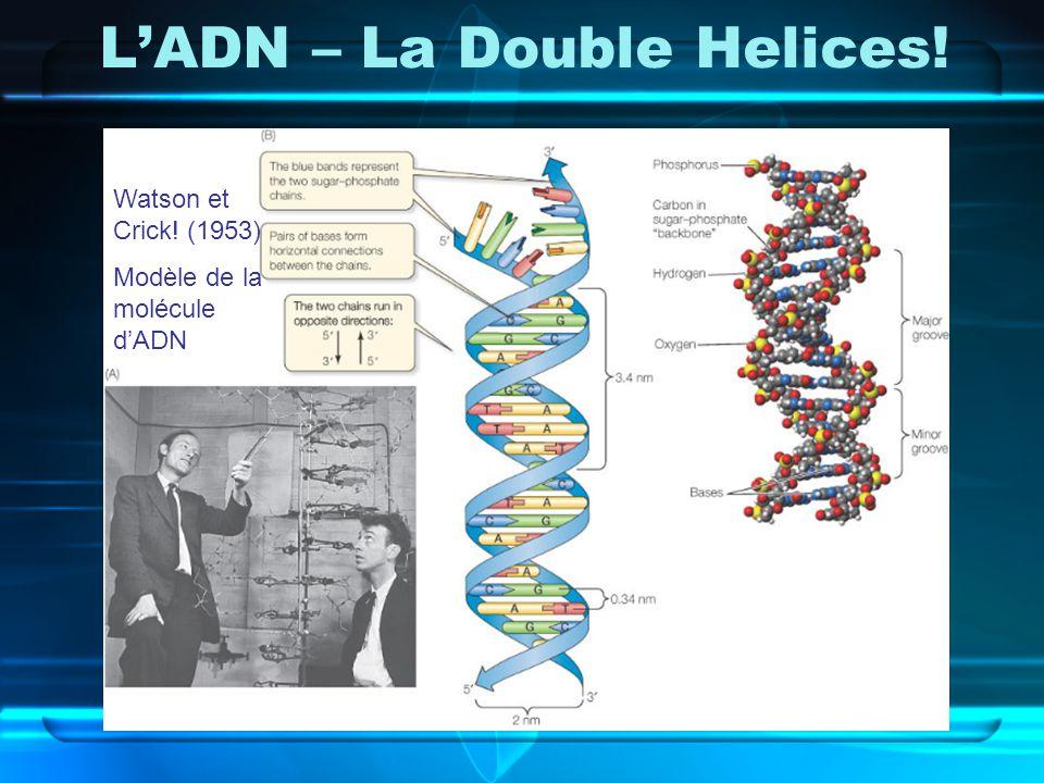 LADN – La Double Helices! Watson et Crick! (1953) Modèle de la molécule dADN