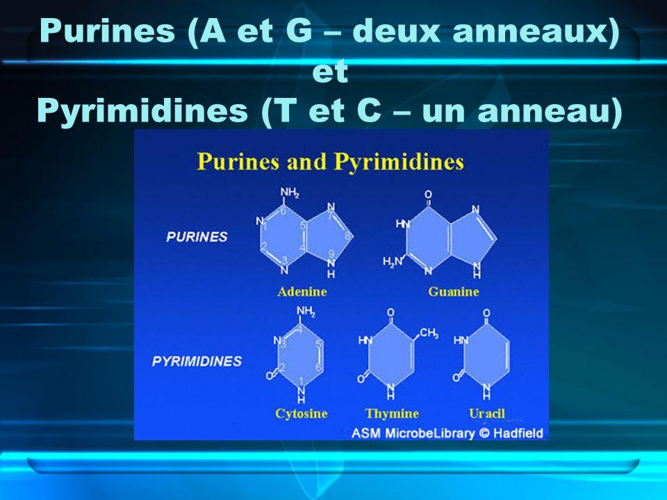 Purines (A et G – deux anneaux) et Pyrimidines (T et C – un anneau)