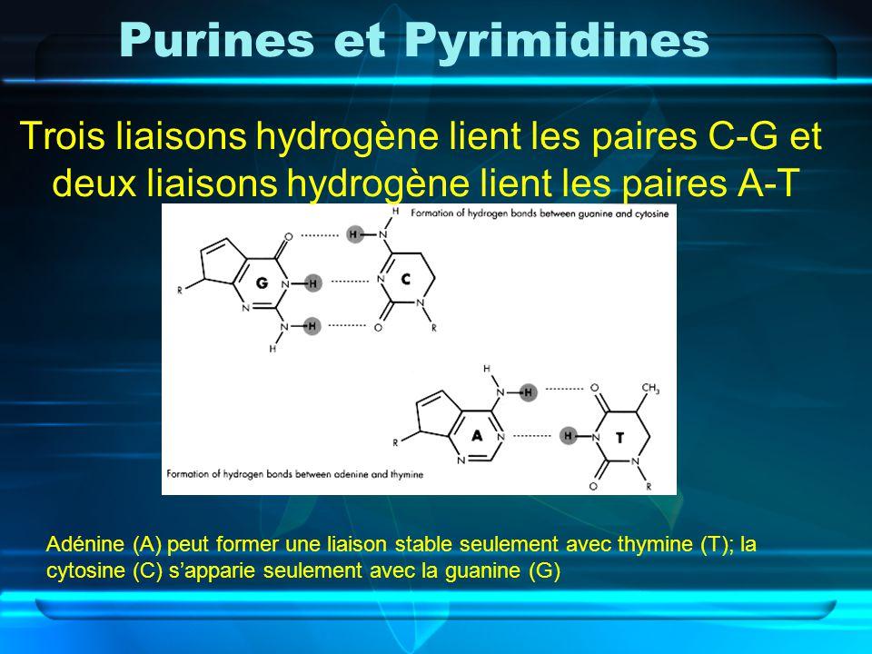 Purines et Pyrimidines Trois liaisons hydrogène lient les paires C-G et deux liaisons hydrogène lient les paires A-T Adénine (A) peut former une liais