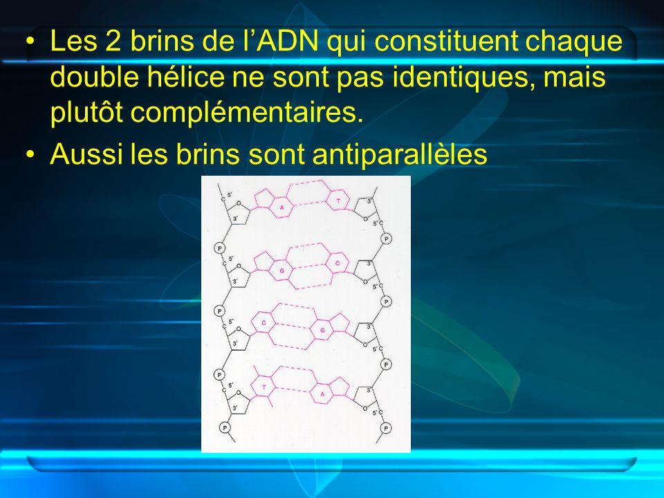 Les 2 brins de lADN qui constituent chaque double hélice ne sont pas identiques, mais plutôt complémentaires. Aussi les brins sont antiparallèles
