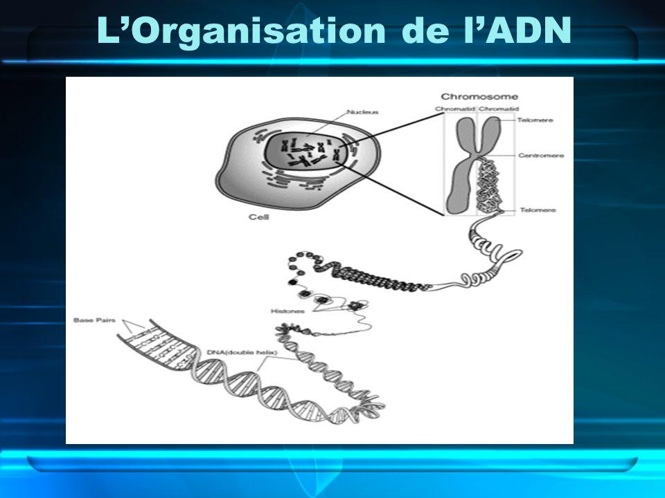 LOrganisation de lADN