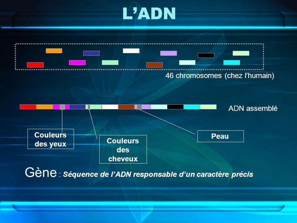 LADN 46 chromosomes (chez lhumain) ADN assemblé Couleurs des yeux Couleurs des cheveux Peau Gène : Séquence de lADN responsable dun caractère précis