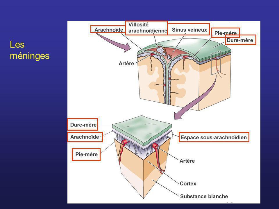 Homonculus moteurHomonculus sensoriel