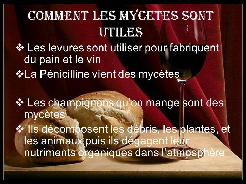 Comment les Mycetes sont utiles Les levures sont utiliser pour fabriquent du pain et le vin La Pénicilline vient des mycètes. Les champignons quon man