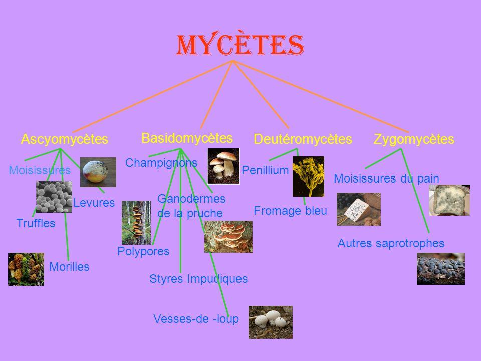 Mycètes AscyomycètesDeutéromycètes Basidomycètes Zygomycètes Levures Morilles Truffles Polypores Vesses-de -loup Styres Impudiques Penillium Fromage b