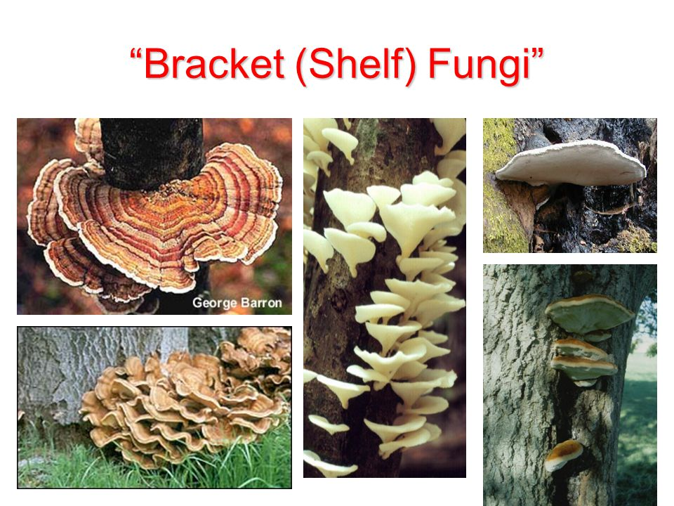 Bracket (Shelf) Fungi