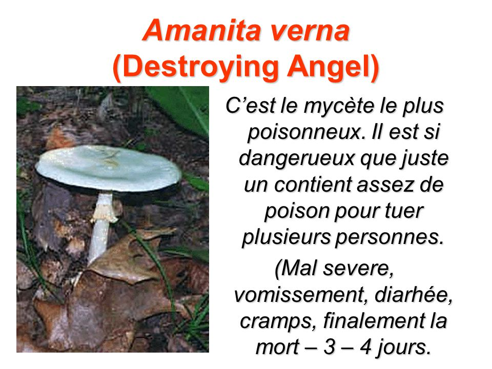 Amanita verna (Destroying Angel) Cest le mycète le plus poisonneux.