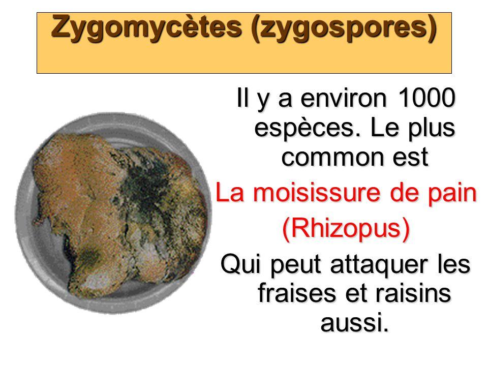 Zygomycètes (zygospores) Il y a environ 1000 espèces. Le plus common est La moisissure de pain (Rhizopus) Qui peut attaquer les fraises et raisins aus