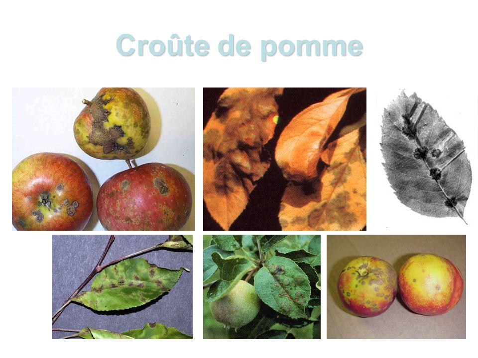 Croûte de pomme