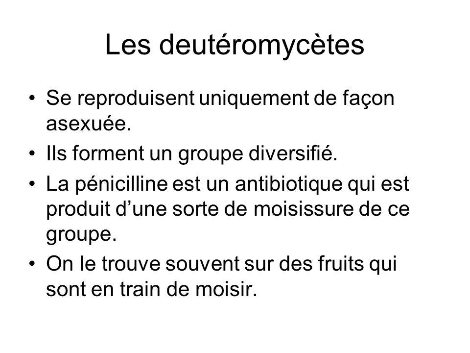 Les deutéromycètes Se reproduisent uniquement de façon asexuée. Ils forment un groupe diversifié. La pénicilline est un antibiotique qui est produit d