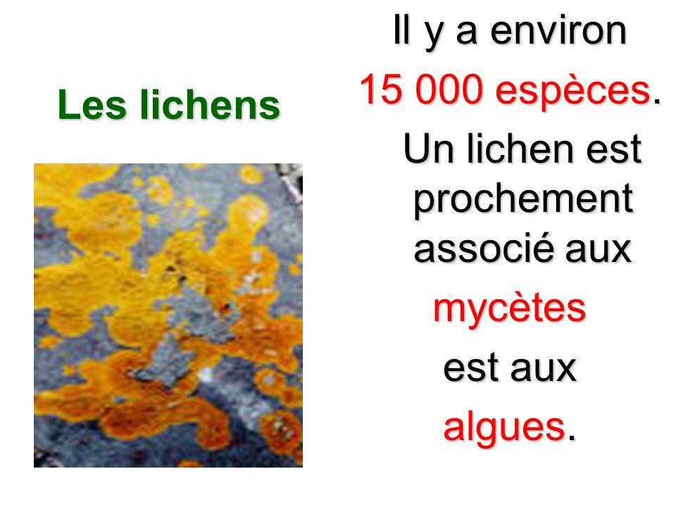 Les lichens Il y a environ 15 000 espèces. Un lichen est prochement associé aux Un lichen est prochement associé auxmycètes est aux algues.