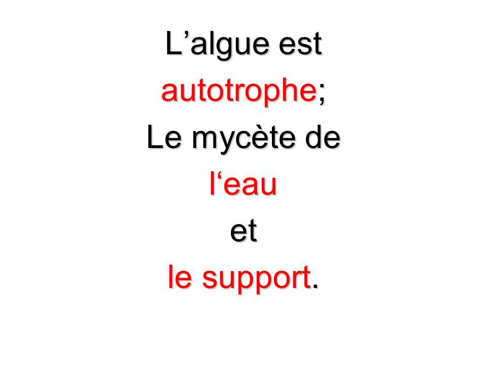 Lalgue est autotrophe; Le mycète de leauet le support.