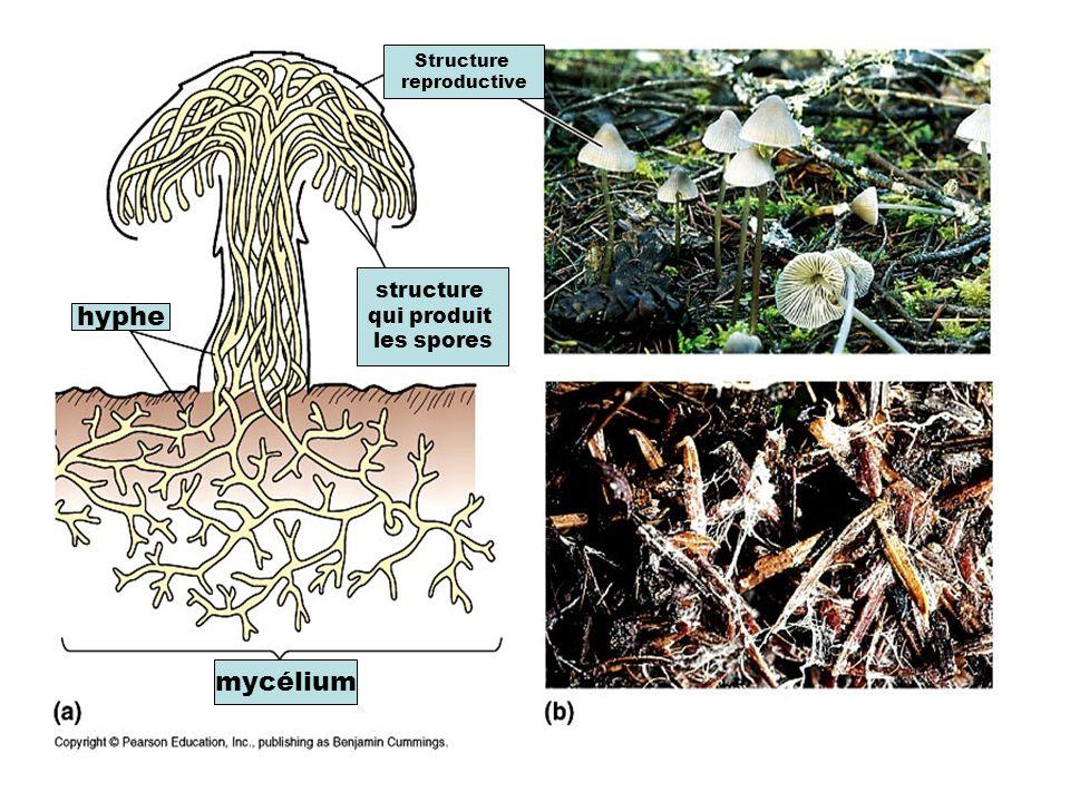 Structure reproductive structure qui produit les spores hyphe mycélium