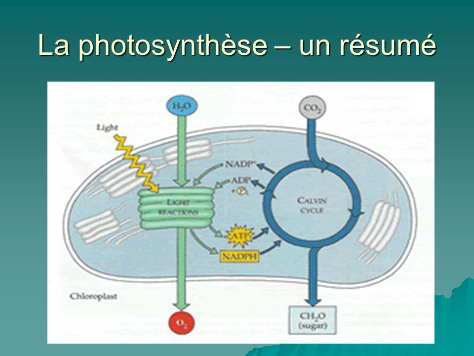 La photosynthèse – un résumé