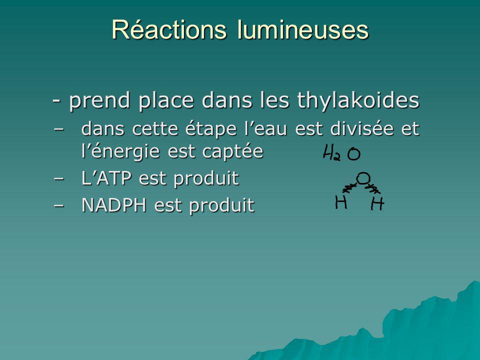 Réactions lumineuses - prend place dans les thylakoides - prend place dans les thylakoides –dans cette étape leau est divisée et lénergie est captée –