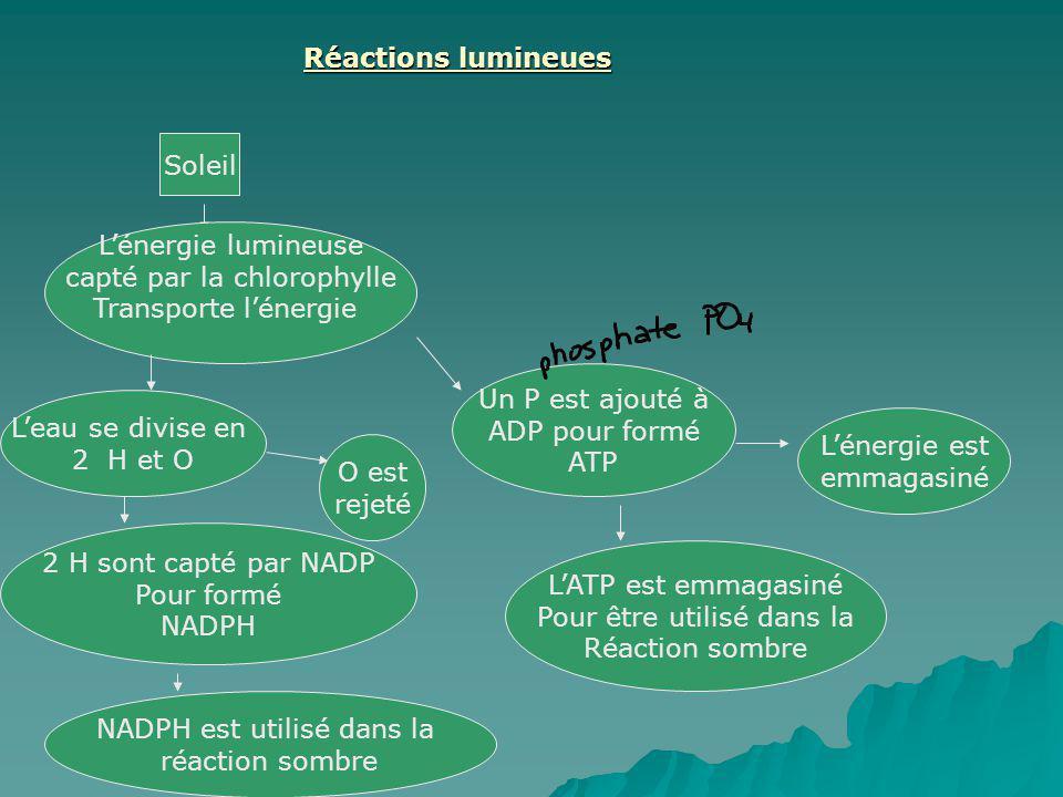 Réactions lumineues Soleil Lénergie lumineuse capté par la chlorophylle Transporte lénergie Leau se divise en 2 H et O Un P est ajouté à ADP pour form