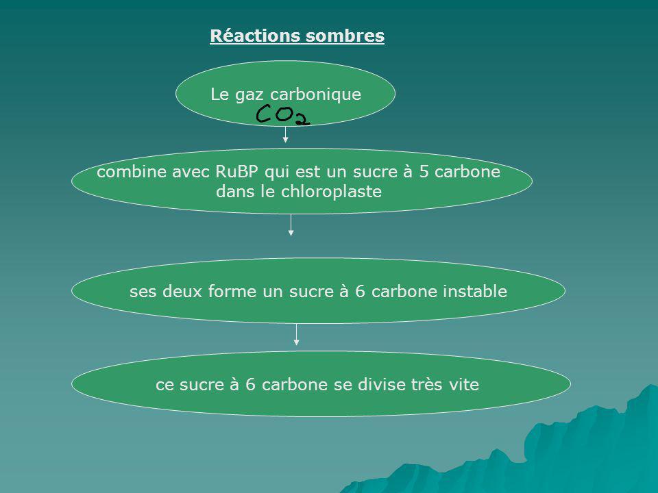 Réactions sombres Le gaz carbonique combine avec RuBP qui est un sucre à 5 carbone dans le chloroplaste ses deux forme un sucre à 6 carbone instable c