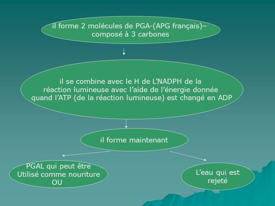 il forme 2 molécules de PGA-(APG français)– composé à 3 carbones il se combine avec le H de LNADPH de la réaction lumineuse avec laide de lénergie don