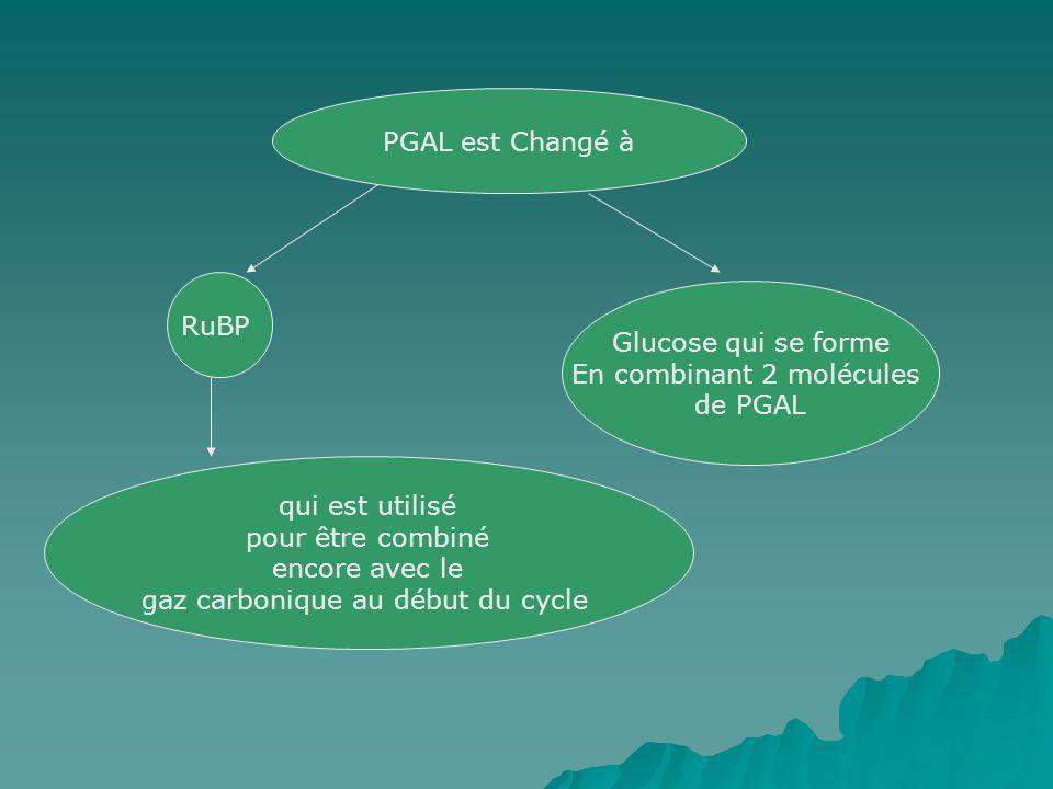 PGAL est Changé à RuBP Glucose qui se forme En combinant 2 molécules de PGAL qui est utilisé pour être combiné encore avec le gaz carbonique au début