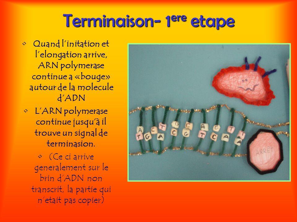 Terminaison- 1 ere etape Quand linitation et lelongation arrive, ARN polymerase continue a «bouge» autour de la molecule dADN LARN polymerase continue