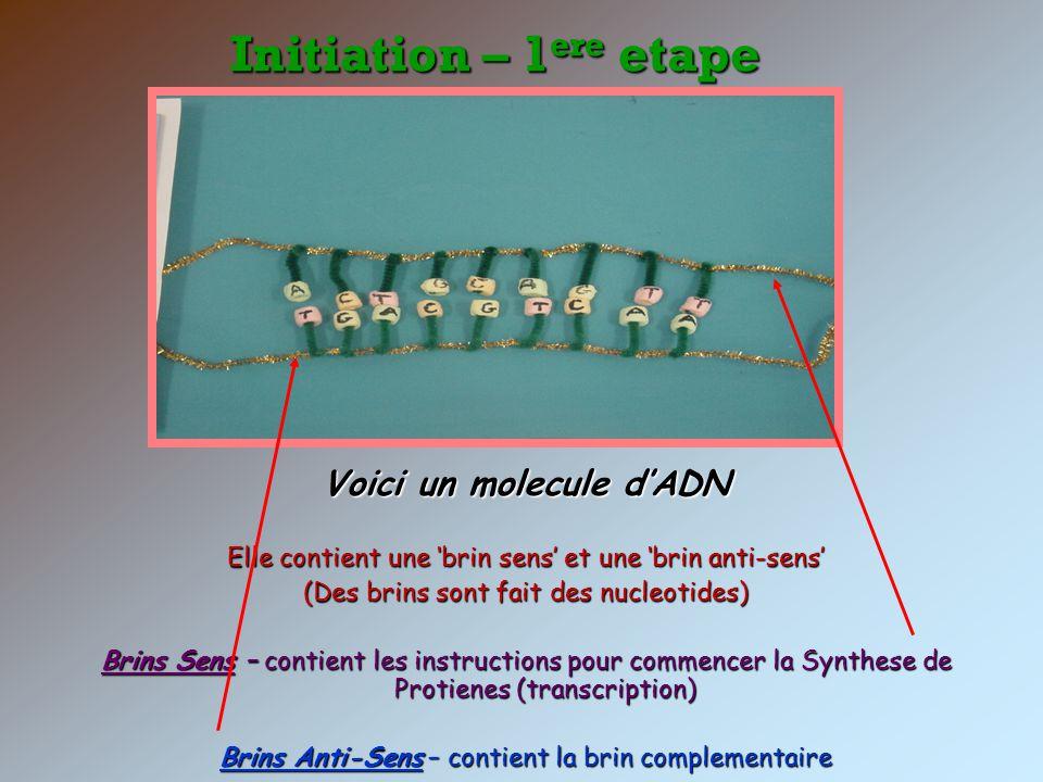 Initiation – 1 ere etape Voici un molecule dADN Elle contient une brin sens et une brin anti-sens (Des brins sont fait des nucleotides) Brins Sens – c