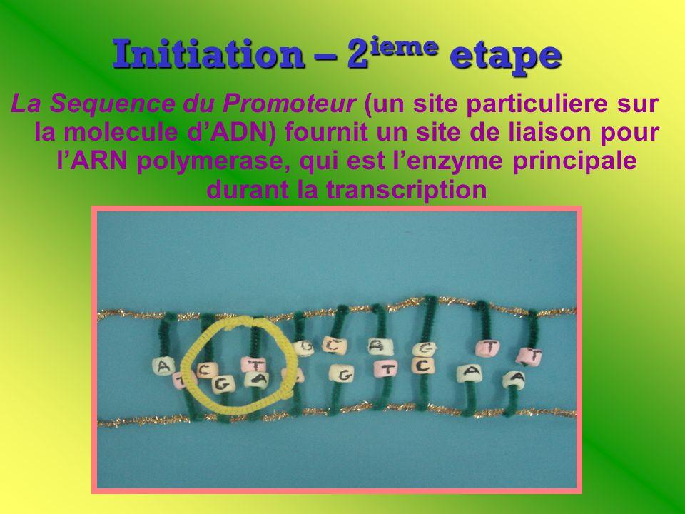 Initiation – 2 ieme etape La Sequence du Promoteur (un site particuliere sur la molecule dADN) fournit un site de liaison pour lARN polymerase, qui es