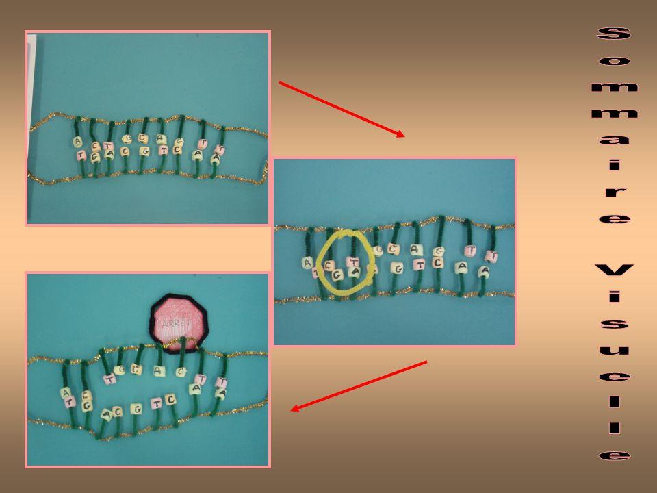 Elongation - 1 ere etape Le brin dADN (en forme de double helice - - deux brins attaches ensemble en forme spirale) commence a etre separe par une enzyme qui sappele lARN polymérase ARN polymérase ouvre une section dADN à la fois, alors la séparation dADN nest pas fait tout au même temps, chaque section sest sépare individuellement.