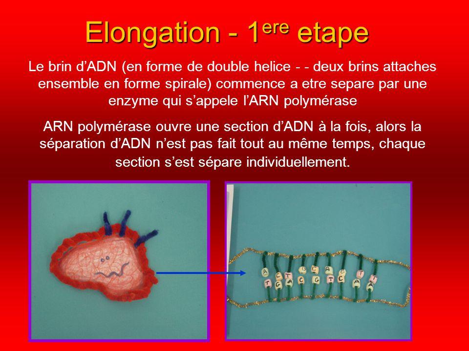 Elongation - 2 ieme etape Quand les deux brins dADN sont séparés complètement, un brin dARN messager vient par le cytoplasme, et il entre dans lADN Il commence a copier information de lADN qui est nécessaire pour crée un gène (Ex : Cheveux) Seulement des morceaux dADN qui sont nécessaire pour créer le gène specifique, pas tout linfo de lADN LARNm remplace le Thymine avec Uracile, alors si un brin dADN dit ATGGTTACAAC, apres que lARNm a fini a copier le brin dirait UACCAAUGUUG Pendant ce processus LARNm ajoute des nouveaux nucléotides au brin de lADN