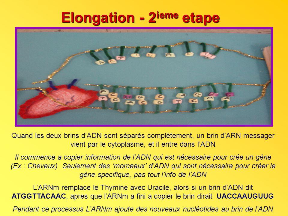 Elongation - 2 ieme etape Quand les deux brins dADN sont séparés complètement, un brin dARN messager vient par le cytoplasme, et il entre dans lADN Il