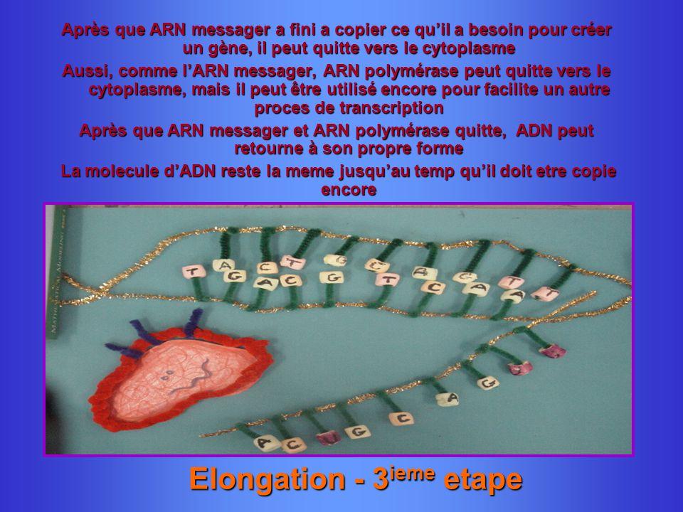 Elongation - 3 ieme etape Après que ARN messager a fini a copier ce quil a besoin pour créer un gène, il peut quitte vers le cytoplasme Aussi, comme l