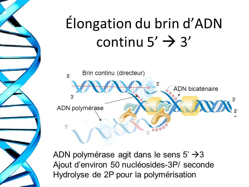 Élongation du brin dADN continu 5 3 ADN polymérase agit dans le sens 5 3 Ajout denviron 50 nucléosides-3P/ seconde Hydrolyse de 2P pour la polymérisation ADN bicaténaire ADN polymérase Brin continu (directeur) 5 3 5 3 3 5 5 5 5 3