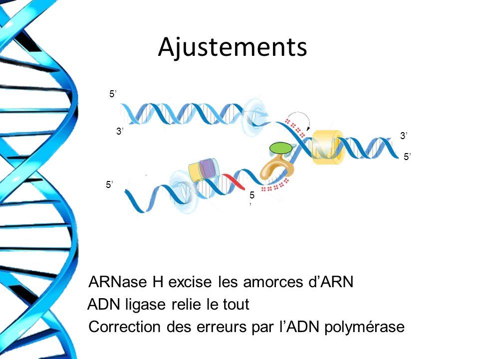 Ajustements ARNase H excise les amorces dARN ADN ligase relie le tout Correction des erreurs par lADN polymérase 3 3 5 5 5 5