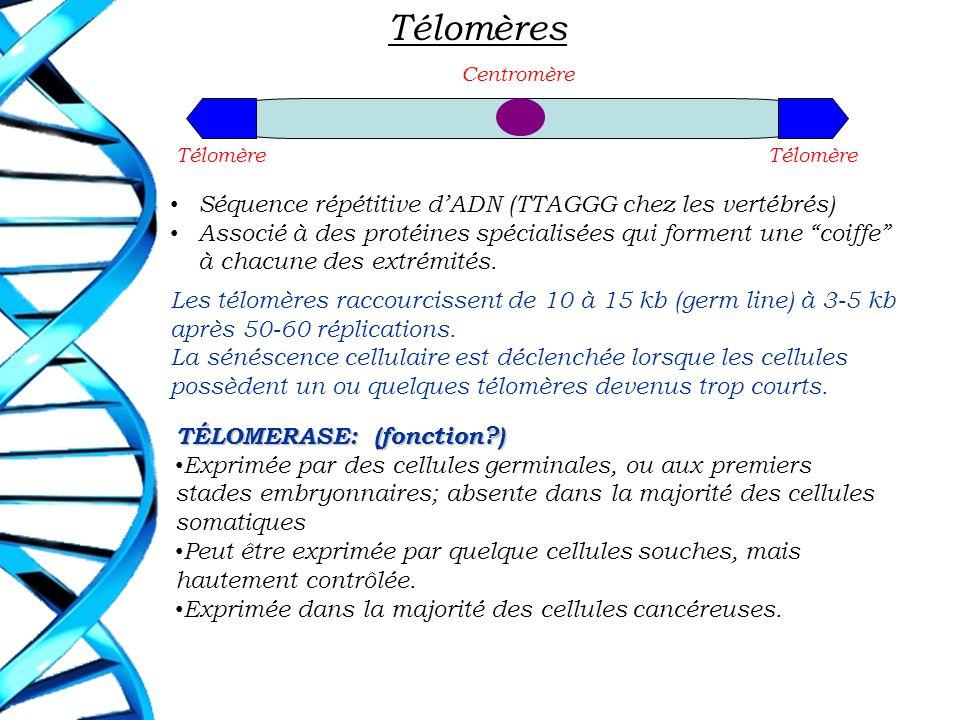 Télomères Centromère Télomère Séquence répétitive dADN (TTAGGG chez les vertébrés) Associé à des protéines spécialisées qui forment une coiffe à chacu