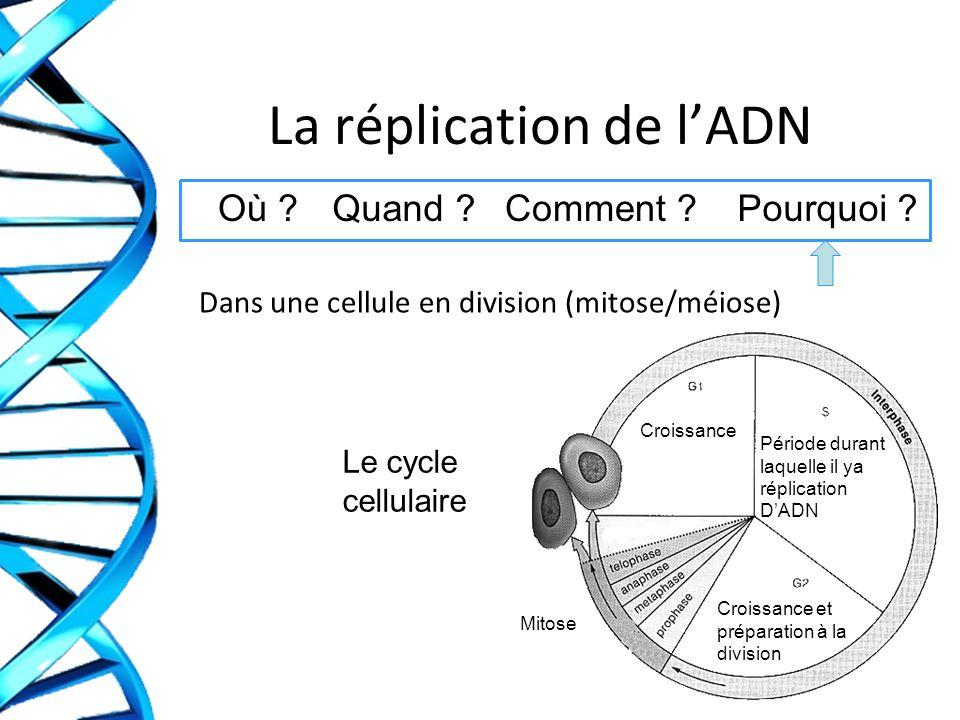 La réplication de lADN Dans une cellule en division (mitose/méiose) Où ?Quand ?Comment ?Pourquoi ? Le cycle cellulaire Croissance Croissance et prépar