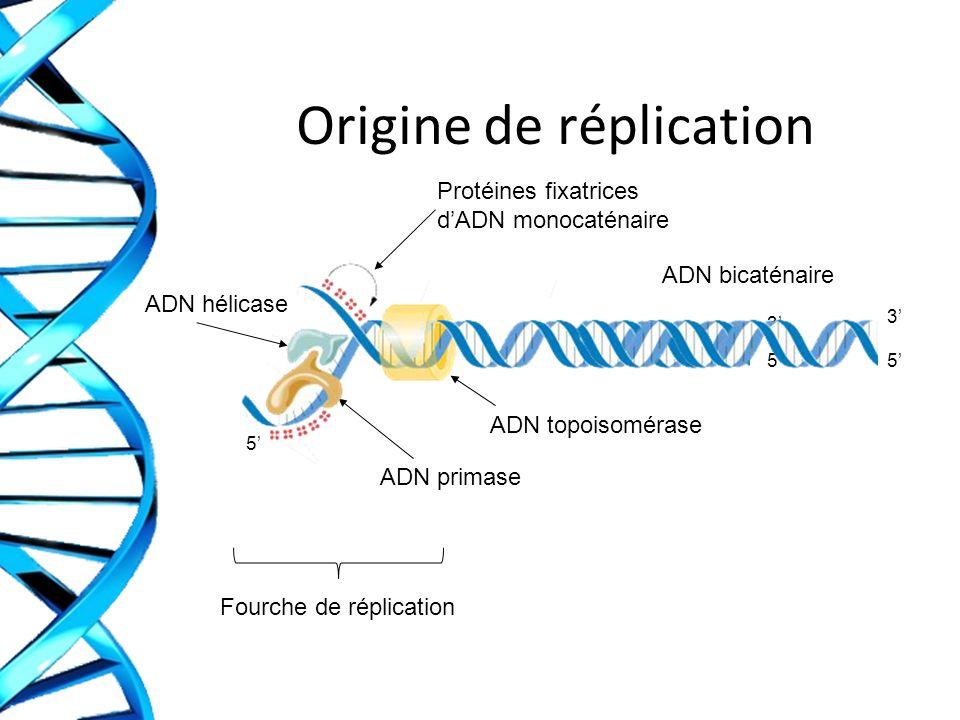 Origine de réplication Protéines fixatrices dADN monocaténaire ADN hélicase ADN primase ADN topoisomérase Fourche de réplication ADN bicaténaire 5 5 3 5 3