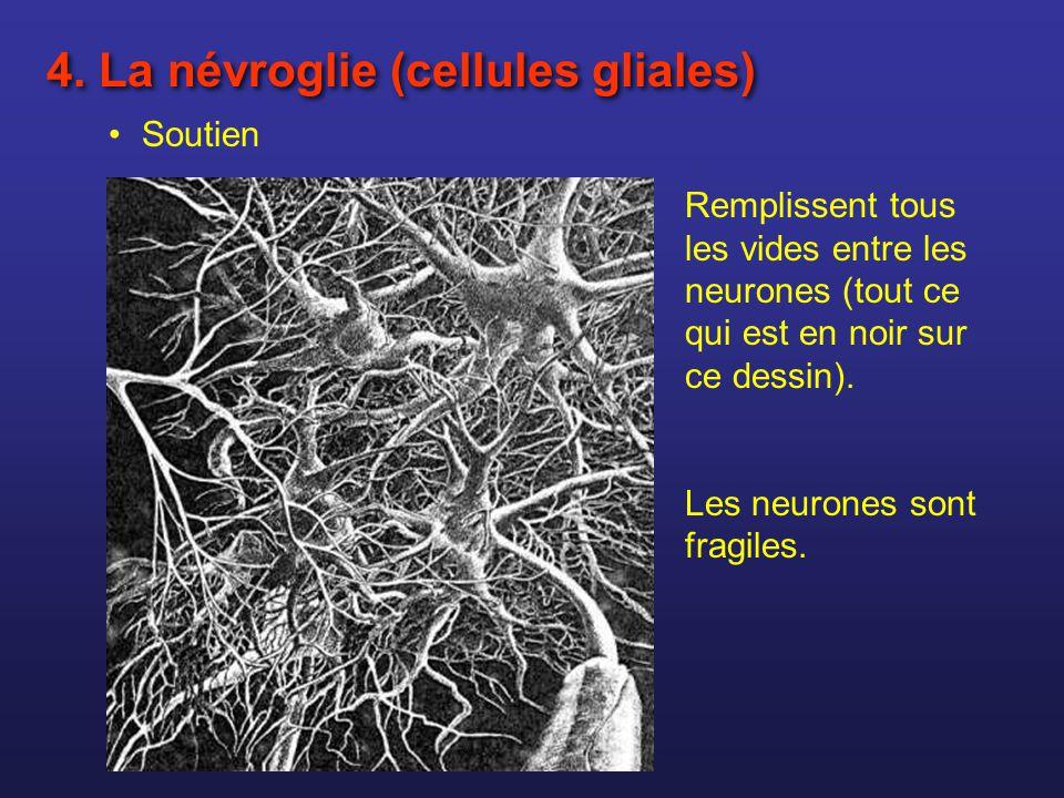 Soutien 4. La névroglie (cellules gliales) Remplissent tous les vides entre les neurones (tout ce qui est en noir sur ce dessin). Les neurones sont fr