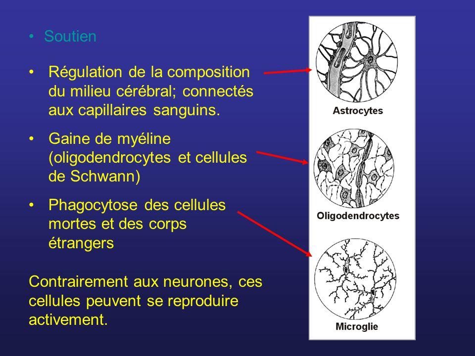 Régulation de la composition du milieu cérébral; connectés aux capillaires sanguins. Gaine de myéline (oligodendrocytes et cellules de Schwann) Phagoc