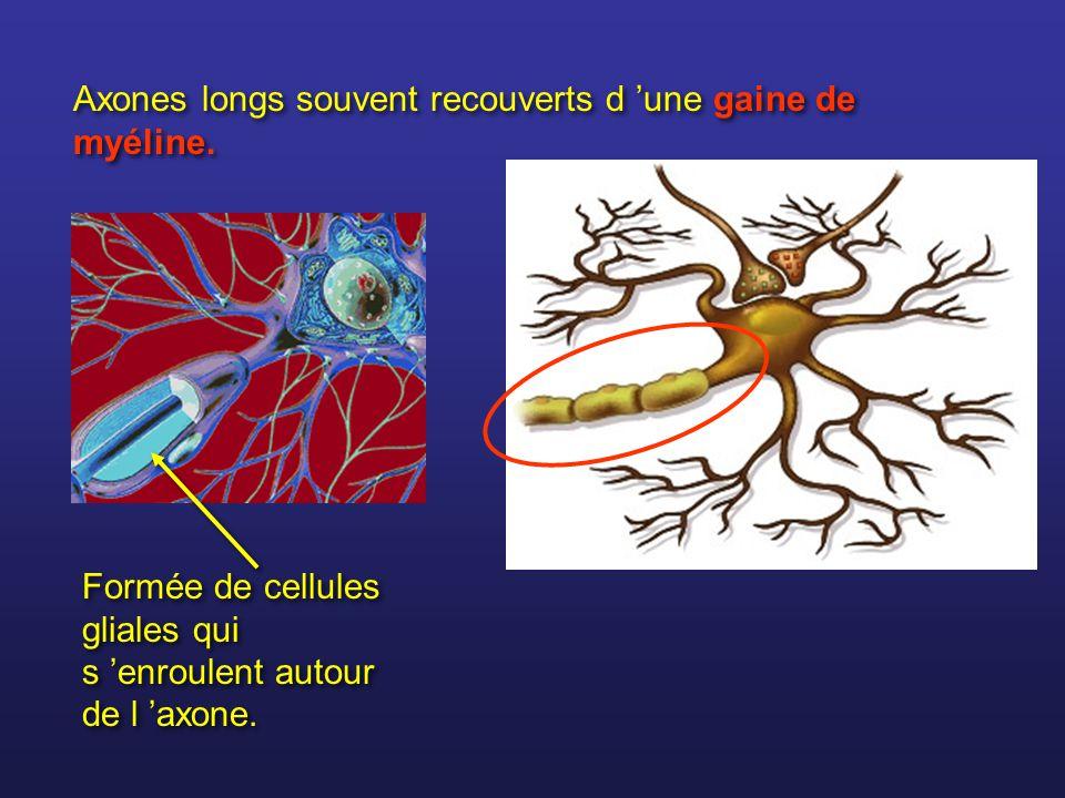 Axones longs souvent recouverts d une gaine de myéline. Formée de cellules gliales qui s enroulent autour de l axone.